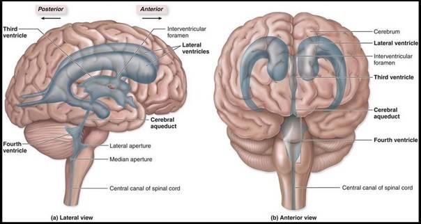 brain ventricles.JPG