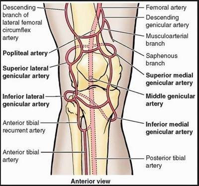 circulation around the knee joint.JPG