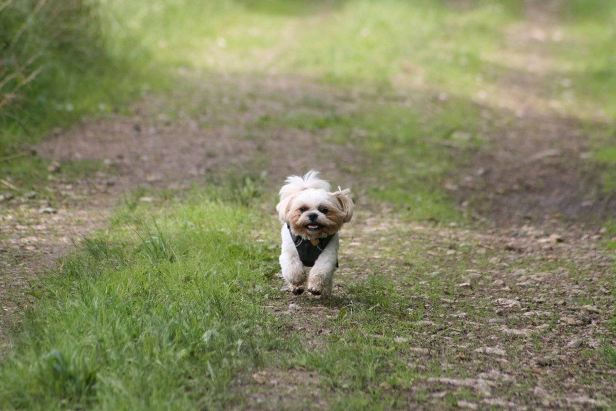 My dog Albert. Shih Tzu