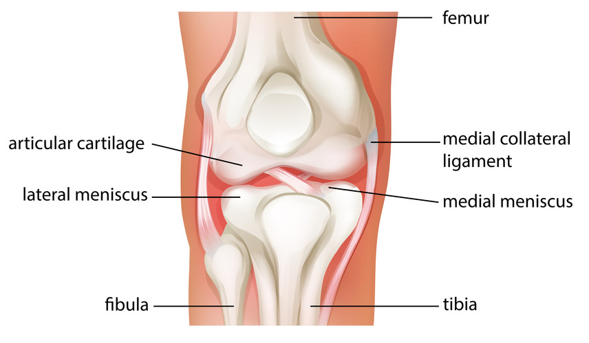 About The Knee Joint