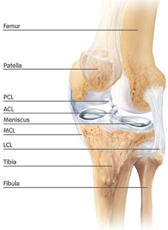 meniscus and ligaments of the knee (courtesy Smith & Nephew)